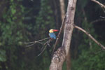 Stork-billed Kingfisher in Borneo -- sabah_3033