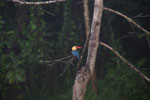 Stork-billed Kingfisher along the Kinabatangan River