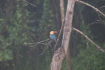 Stork-billed Kingfisher (Pelargopsis capensis) -- sabah_3035