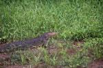Monitor lizard -- sabah_3054