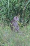 Macaques -- sabah_3057