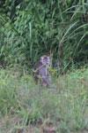 Macaques -- sabah_3058