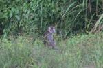 Macaques -- sabah_3059