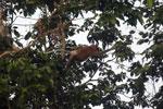 Proboscis monkey -- sabah_3090