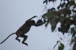 Proboscis monkey -- sabah_3091