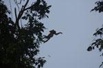 Proboscis monkey jumping -- sabah_3092