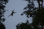 Proboscis monkey jumping