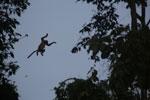 Proboscis monkey jumping