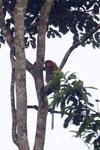 Proboscis monkey -- sabah_3096