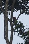 Proboscis monkey -- sabah_3097