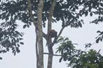 Proboscis monkey -- sabah_3099