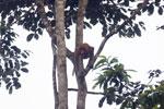 Proboscis monkey -- sabah_3100