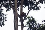 Proboscis monkey -- sabah_3101