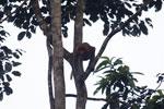 Proboscis monkey -- sabah_3102