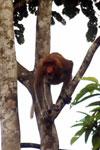Proboscis monkey -- sabah_3103