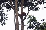 Proboscis monkey -- sabah_3105