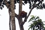 Proboscis monkey -- sabah_3106