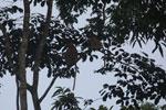 Proboscis monkeys -- sabah_3108