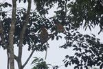 Proboscis monkeys -- sabah_3109