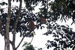 Proboscis monkeys -- sabah_3110