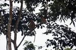 Proboscis monkeys -- sabah_3111