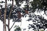 Proboscis monkeys -- sabah_3112