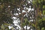 Proboscis monkey -- sabah_3113