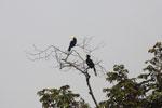 Oriental Pied Hornbill (Anthracoceros albirostris) -- sabah_3126