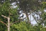 Oriental Pied Hornbill eating fruit -- sabah_3128