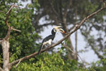 Oriental Pied Hornbill eating fruit -- sabah_3129