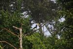 Oriental Pied Hornbill eating fruit -- sabah_3130