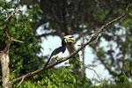 Oriental Pied Hornbill eating fruit -- sabah_3133