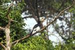 Oriental Pied Hornbill eating fruit -- sabah_3134