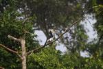 Oriental Pied Hornbill eating fruit -- sabah_3135