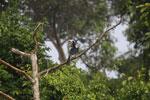 Oriental Pied Hornbill eating fruit -- sabah_3136