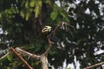 Oriental Pied Hornbill eating fruit -- sabah_3138