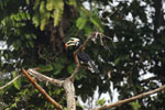 Oriental Pied Hornbill eating fruit -- sabah_3139