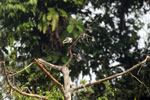 Oriental Pied Hornbill eating fruit -- sabah_3140