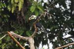 Oriental Pied Hornbill eating fruit -- sabah_3142