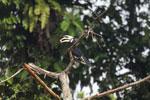 Oriental Pied Hornbill eating fruit -- sabah_3143