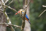 Stork-billed Kingfisher in Borneo -- sabah_3149