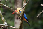 Stork-billed Kingfisher along the Kinabatangan River -- sabah_3150