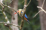 Stork-billed Kingfisher (Pelargopsis capensis) -- sabah_3151