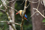 Stork-billed Kingfisher (Pelargopsis capensis) in Borneo -- sabah_3152