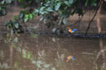 Stork-billed Kingfisher -- sabah_3154