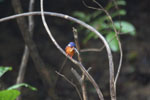 Stork-billed Kingfisher (Pelargopsis capensis) in Borneo -- sabah_3158
