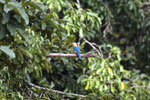 Stork-billed Kingfisher in Borneo