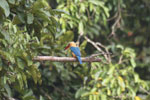 Stork-billed Kingfisher along the Kinabatangan River -- sabah_3162