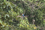 Stork-billed Kingfisher (Pelargopsis capensis) in Borneo -- sabah_3164