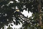 Oriental Pied Hornbill (Anthracoceros albirostris) -- sabah_3167
